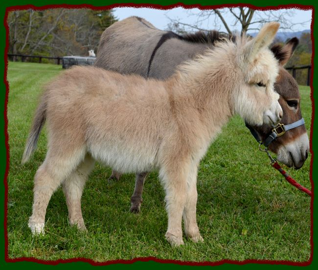 Shorecrests Elroy, red and white spotted miniature donkey for sale.